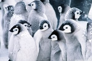 download Baby Penguin Wallpaper 1920x1200